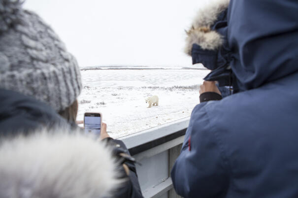 A polar bear approaching a Tundra Buggy in Churchill, Canada