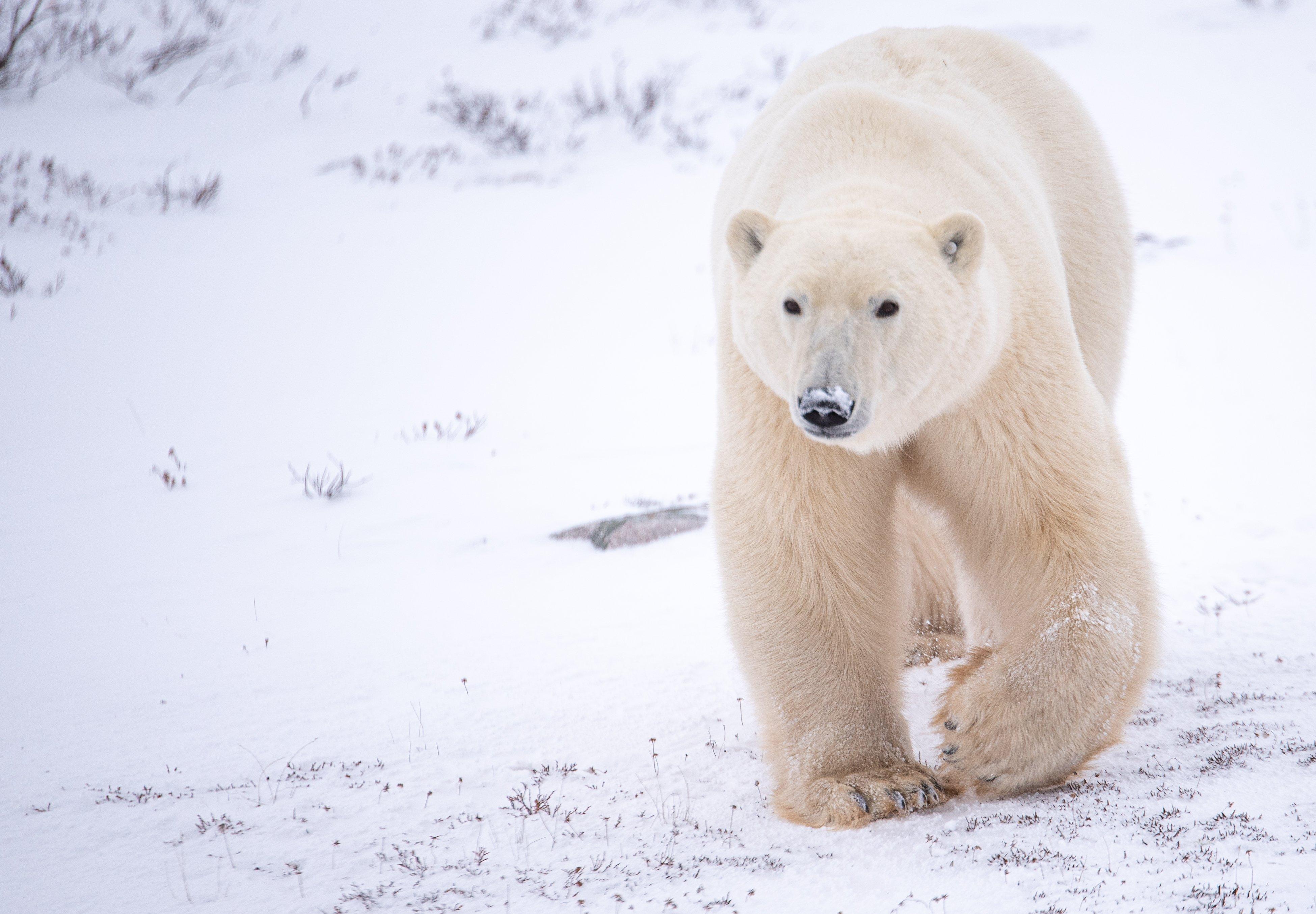 A polar bear in the Churchill Wildlife Management Area