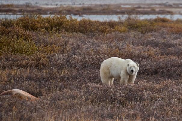A polar bear in Churchill, Canada