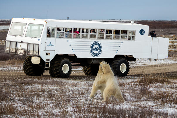 Two polar bears spar in front of a Tundra Buggy in Churchill, Canada