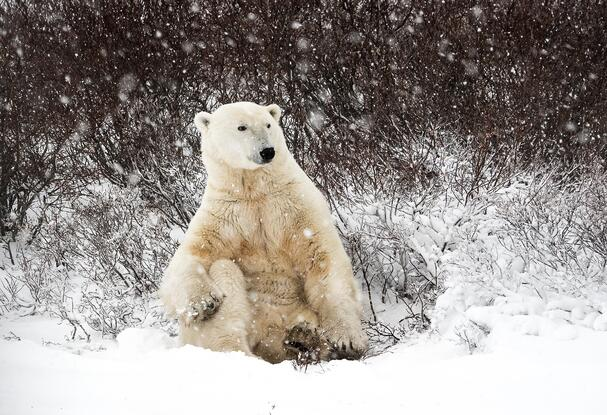 Polar bear rolling in the snow in Churchill, Manitoba, Canada