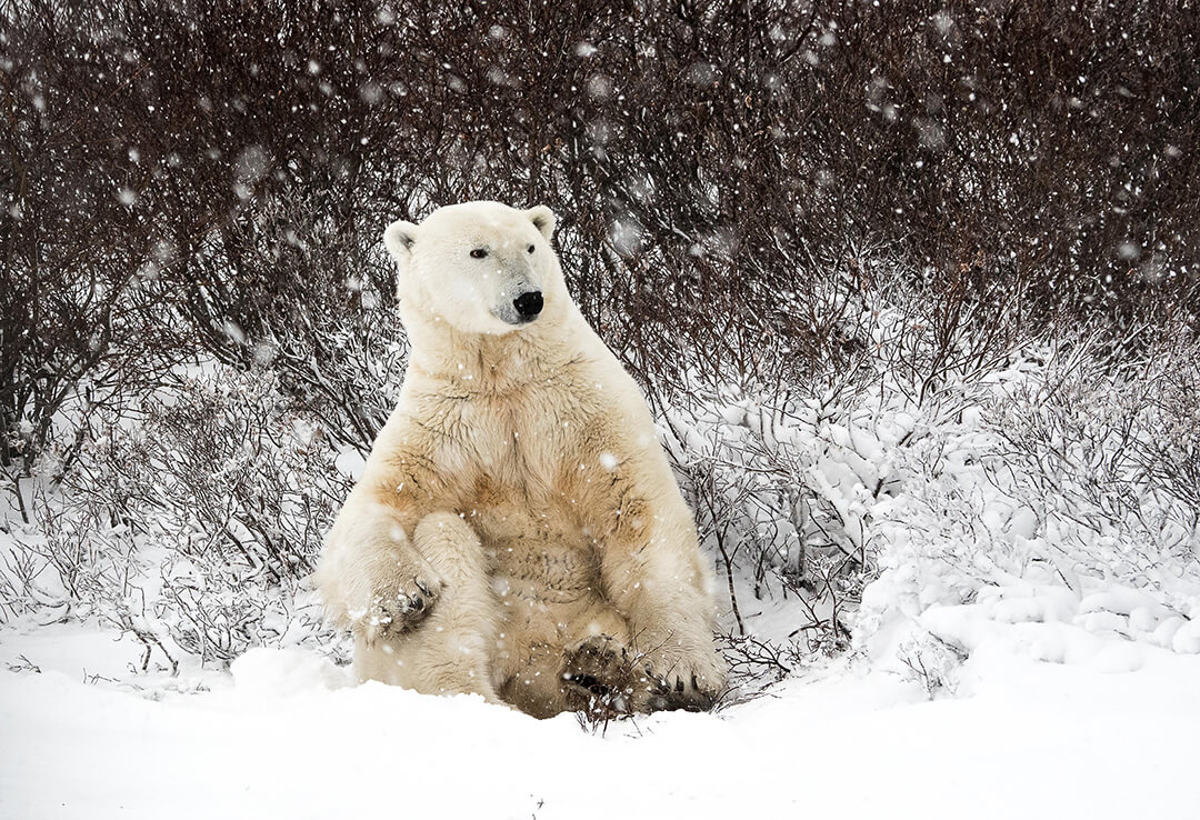 Polar bear sitting up in the willows in the Churchill Wildlife Management Area.