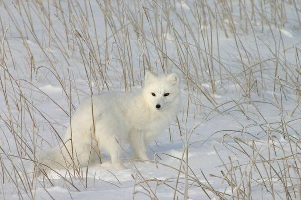 A sly Arctic fox on the frozen tundra in Churchill, Manitoba.
