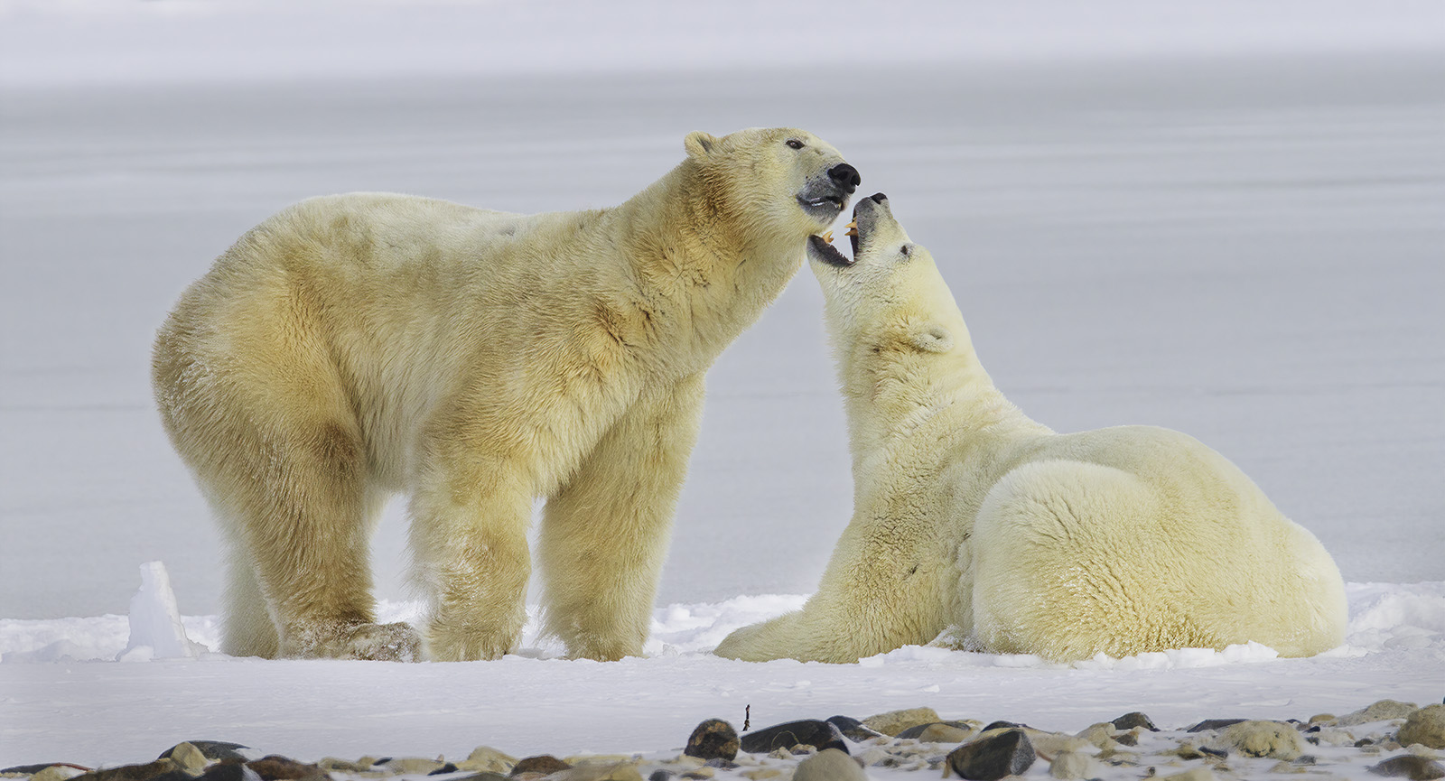Two polar bears in the Churchill Wildlife Management Area.