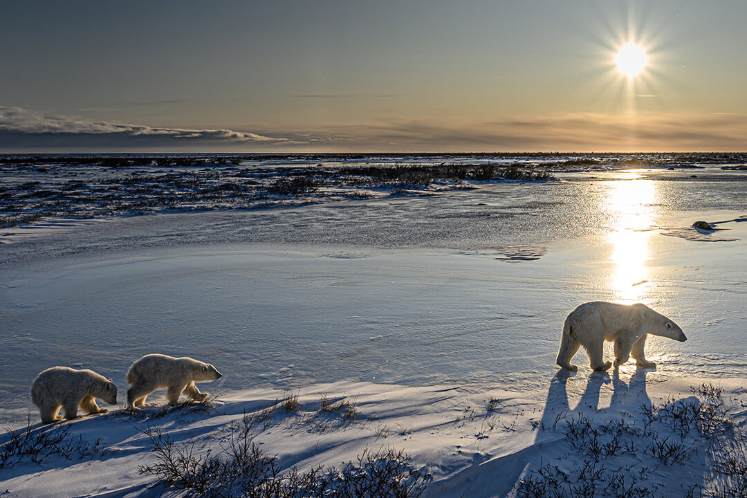 A mom and cubs wander over the tundra in Churchill, Canada