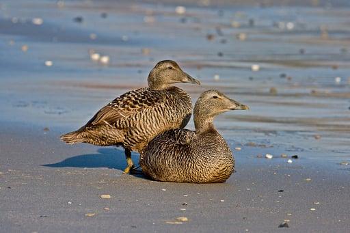 Two eider ducks sitting around watching.