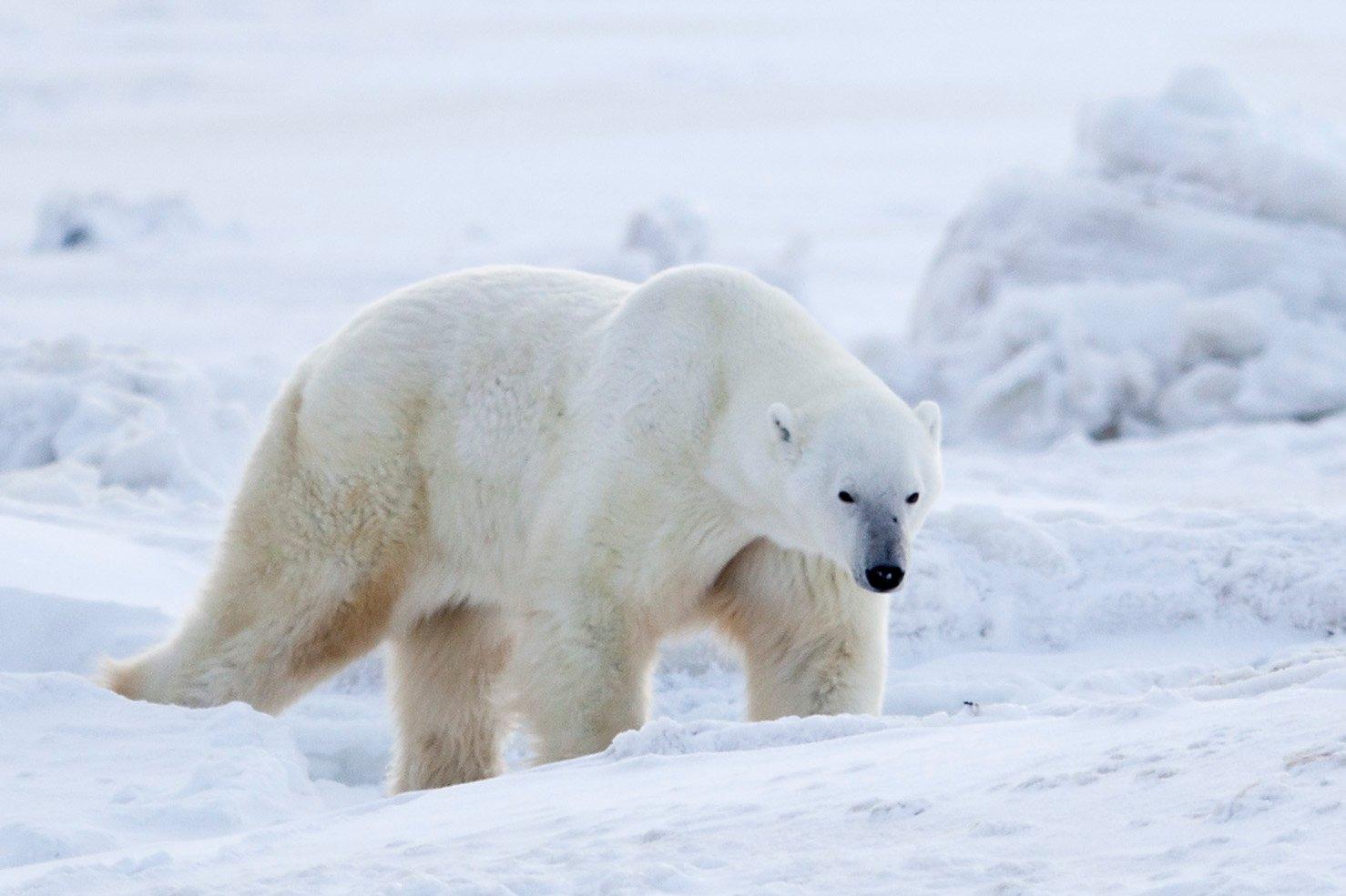 Polar Bear walks through the snow in Wapusk National Park