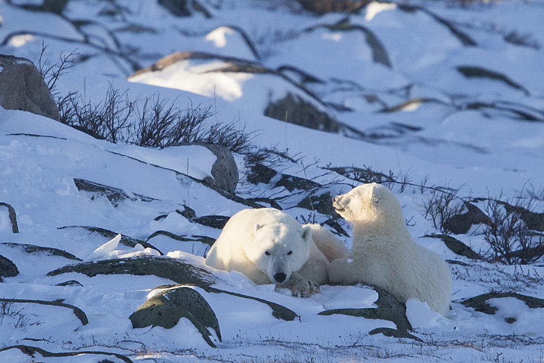 Mom and cub in the sun in Wapusk National Park