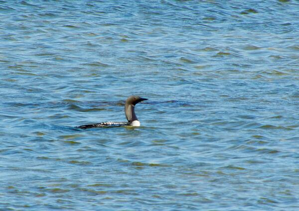 pacific loon in Churchill Manitoba