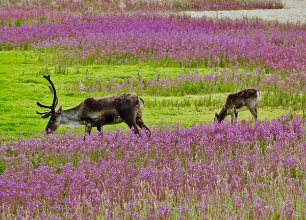 caribou on Tundra Buggy tour