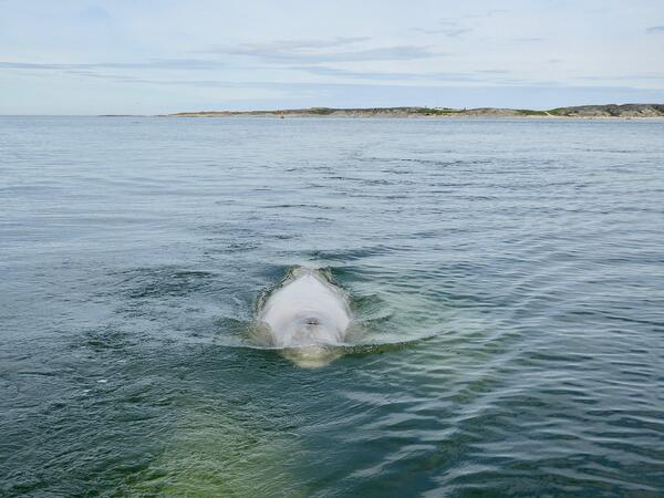 beluga whale tour in Churchill