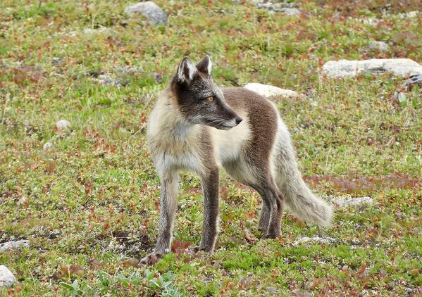 arctic fox in summer