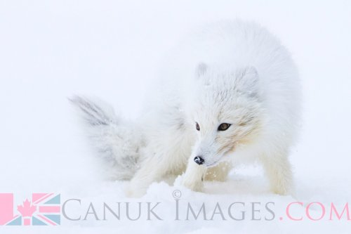 Arctic fox in Churchill, Manitoba.
