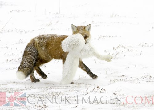 Photo of a Red fox eating an Arctic Fox by Simon Gee.