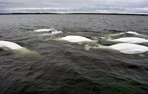 White humps of beluga whales in the Hudson Bay