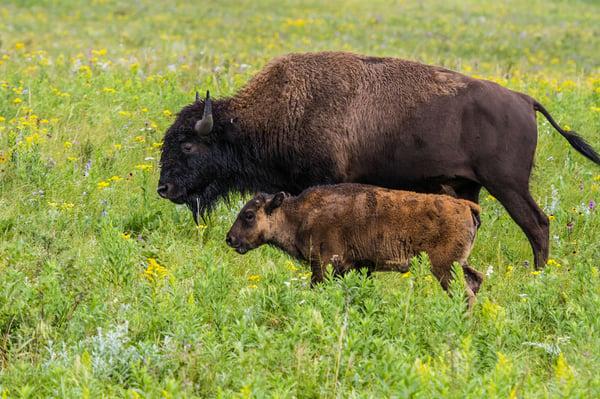Two bison walk through prairie grass