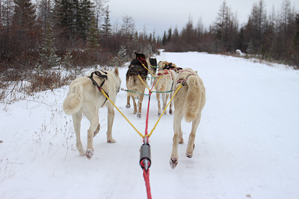 Dog sledding dogs, view from the back.