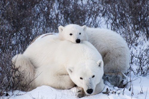 Mom and cub in the willows in Churchill, Manitoba