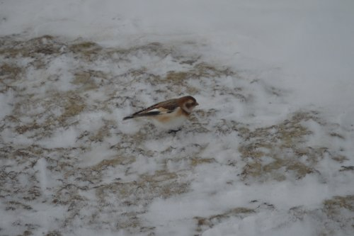 A tiny snow bunting bird.
