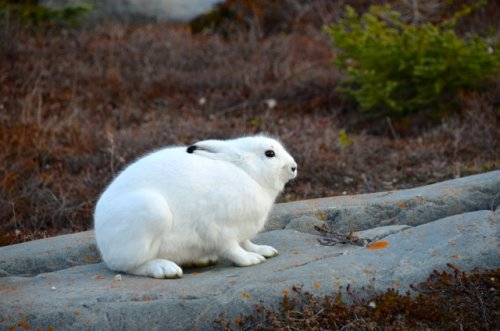 An Arctic hare pretending to be camouflaged.