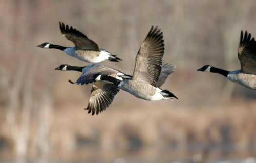 Four Canadian geese in flight.