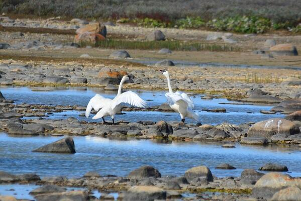 Tundra swans on the tundra.