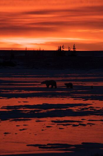 Mom and cub under a Churchill sunset