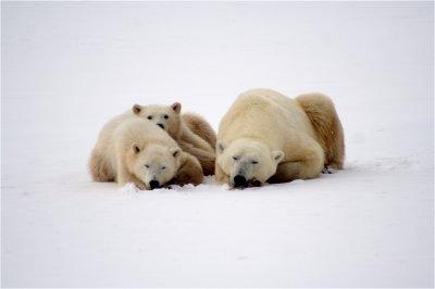 A family of polar bears sleeps in the snow.