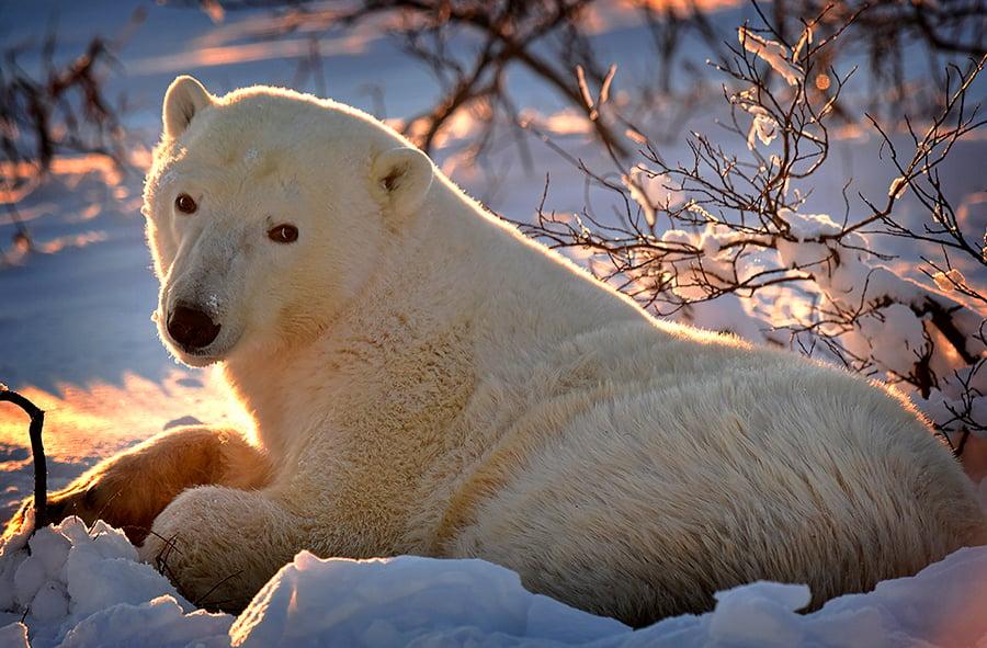 A polar bear in the sun in Wapusk National Park, Manitoba.