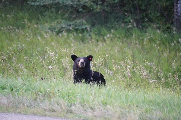 A black bear pokes its head out of the grass.