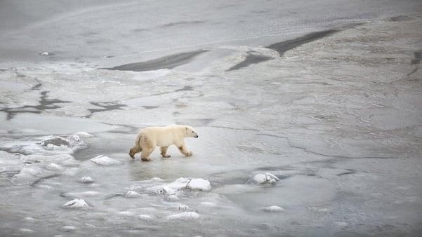 Polar bear walking across ice in Churchill.