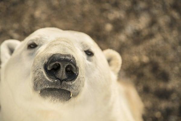 Polar bear portrait by Steve Mandel.