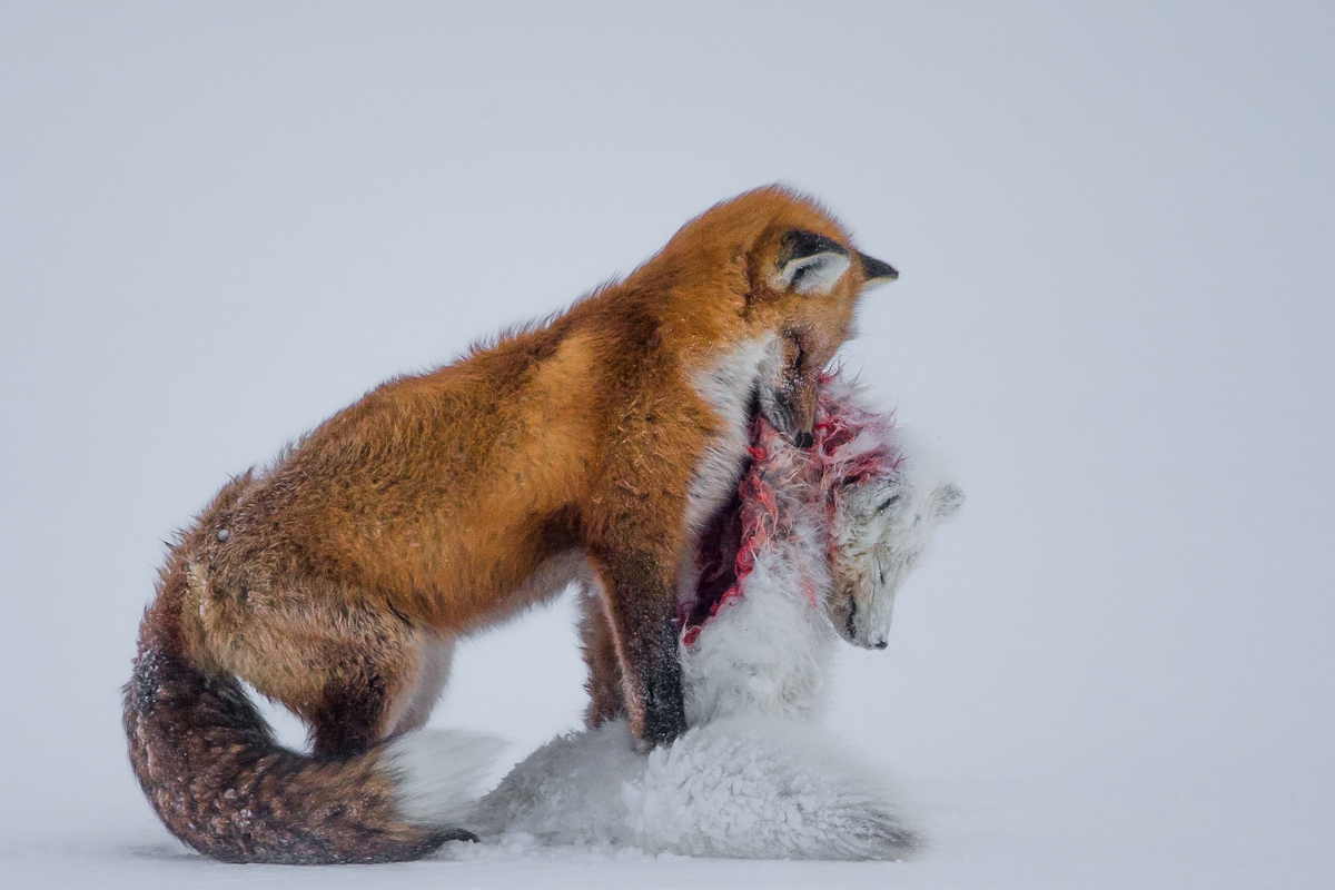 A Red fox eating an Arctic fox.