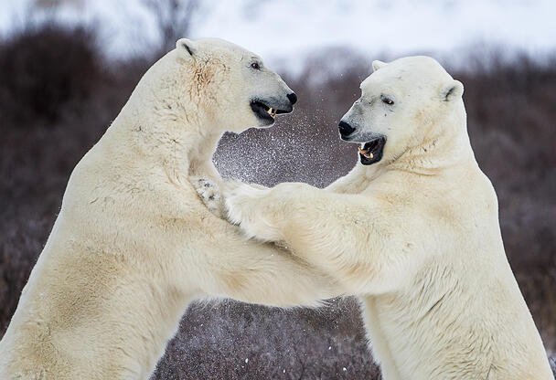 Polar bears sparring in Churchill, Manitoba. Photo by Johnny Chen