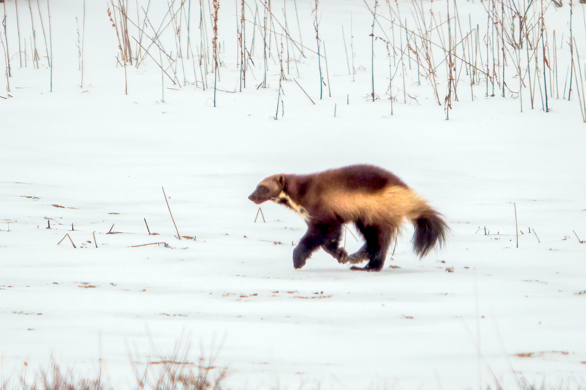 A rare sighting of a wolverine in Churchill, Manitoba.
