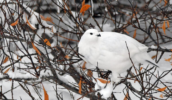 A ptarmigan on a branch in the Churchill Wildlife Management Area.