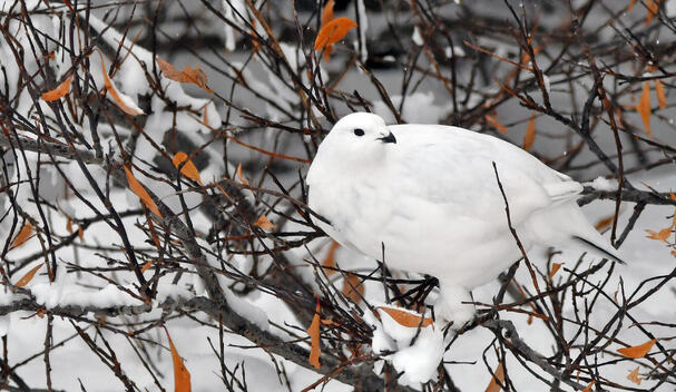 Willow Ptarmigan perched on a bush in Churchill, Manitoba, Canada