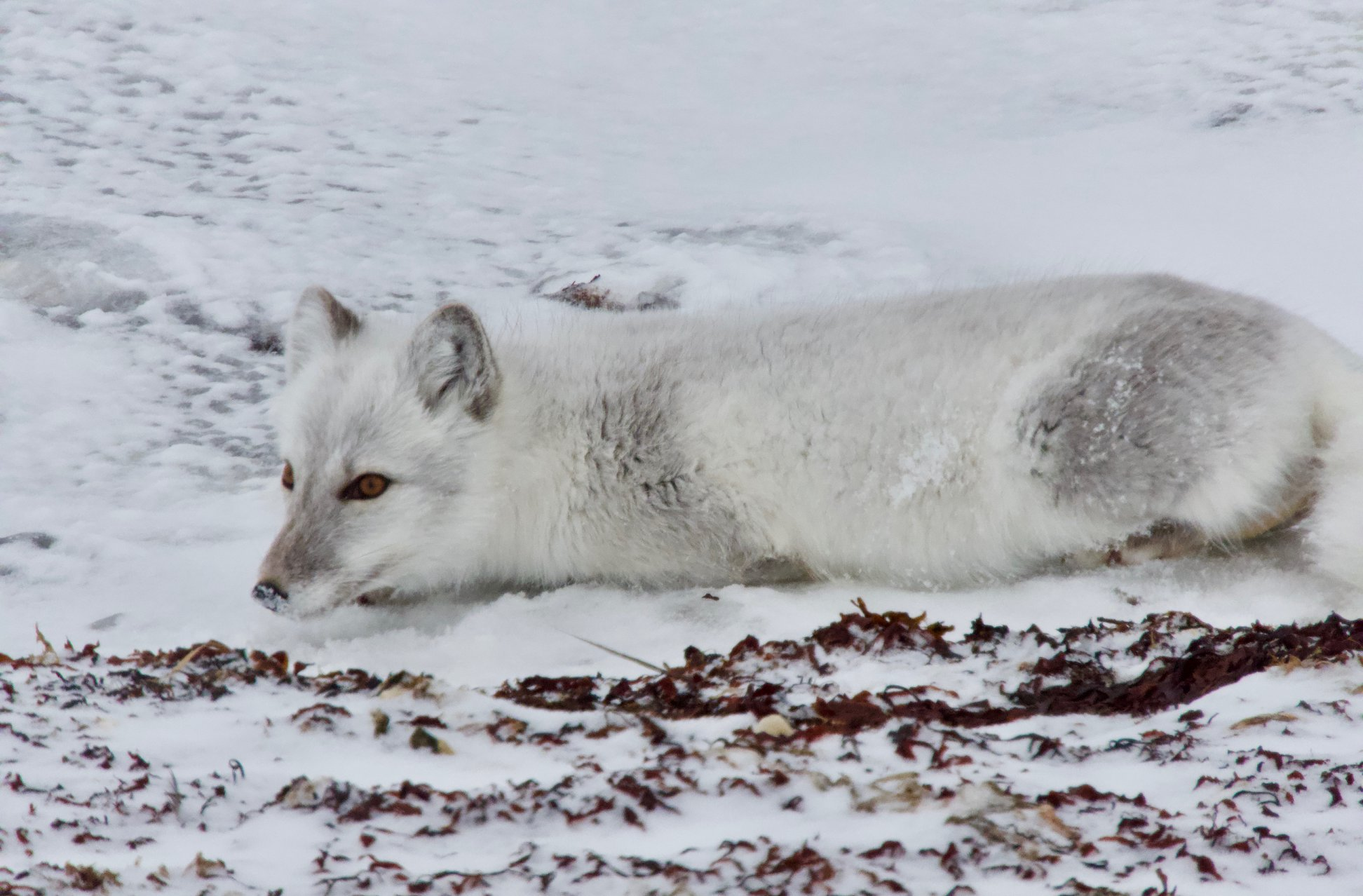 Arctic Fox in Churchill, Manitoba, Canada