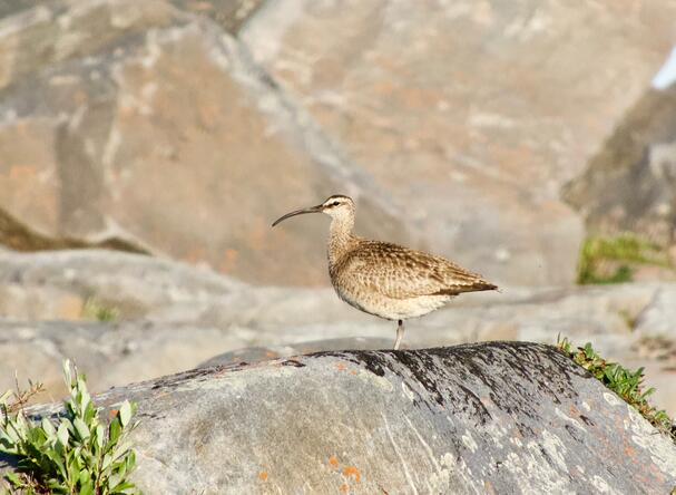 A Whimbrel on the rocks in Churchill, Manitoba.