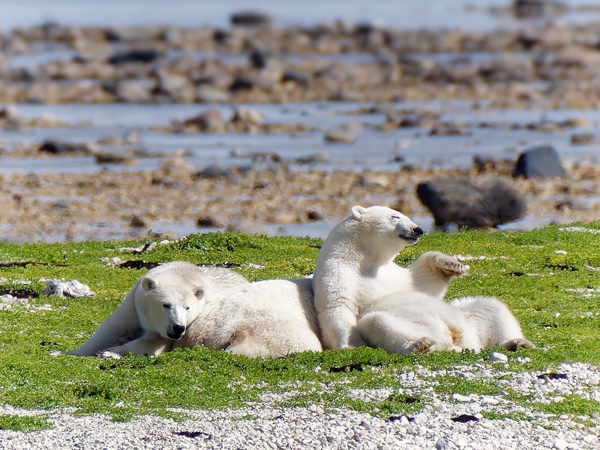 Two polar bears in summer in Churchill, Manitoba.