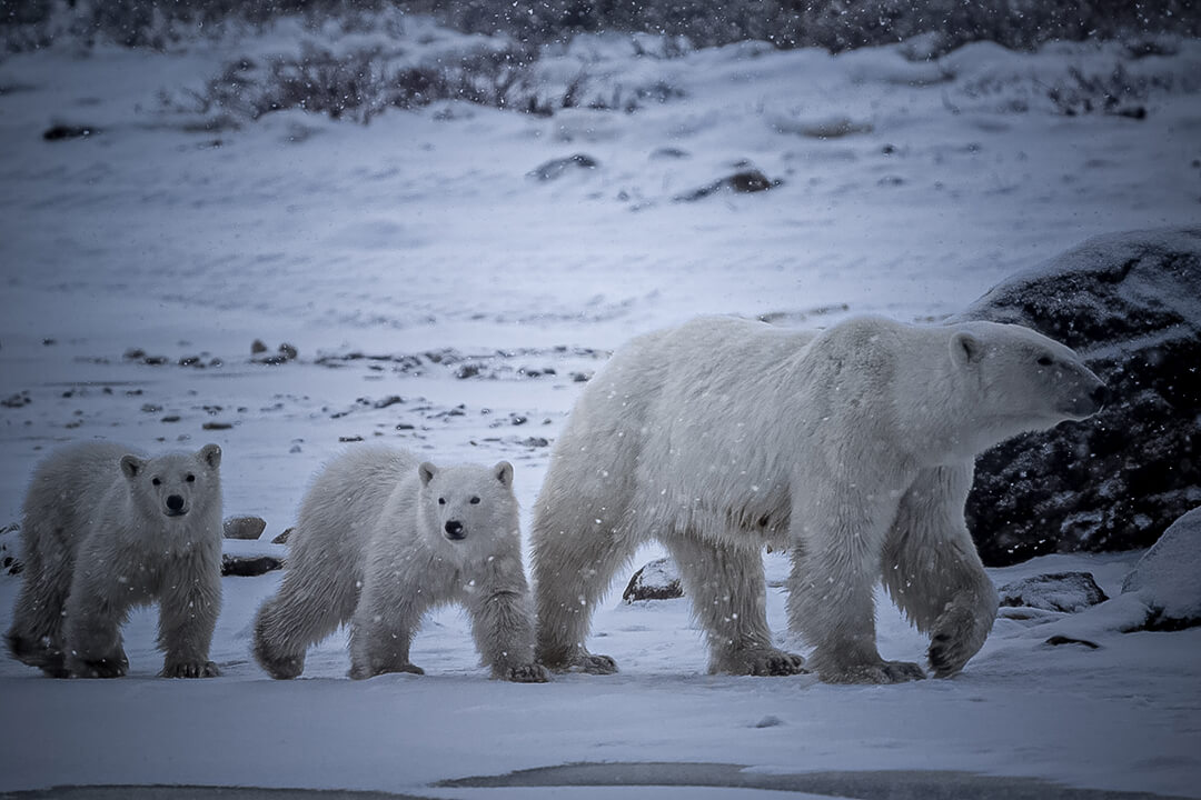 A mama bear and two cubs walking with snow falling overhead in Churchill, Canada
