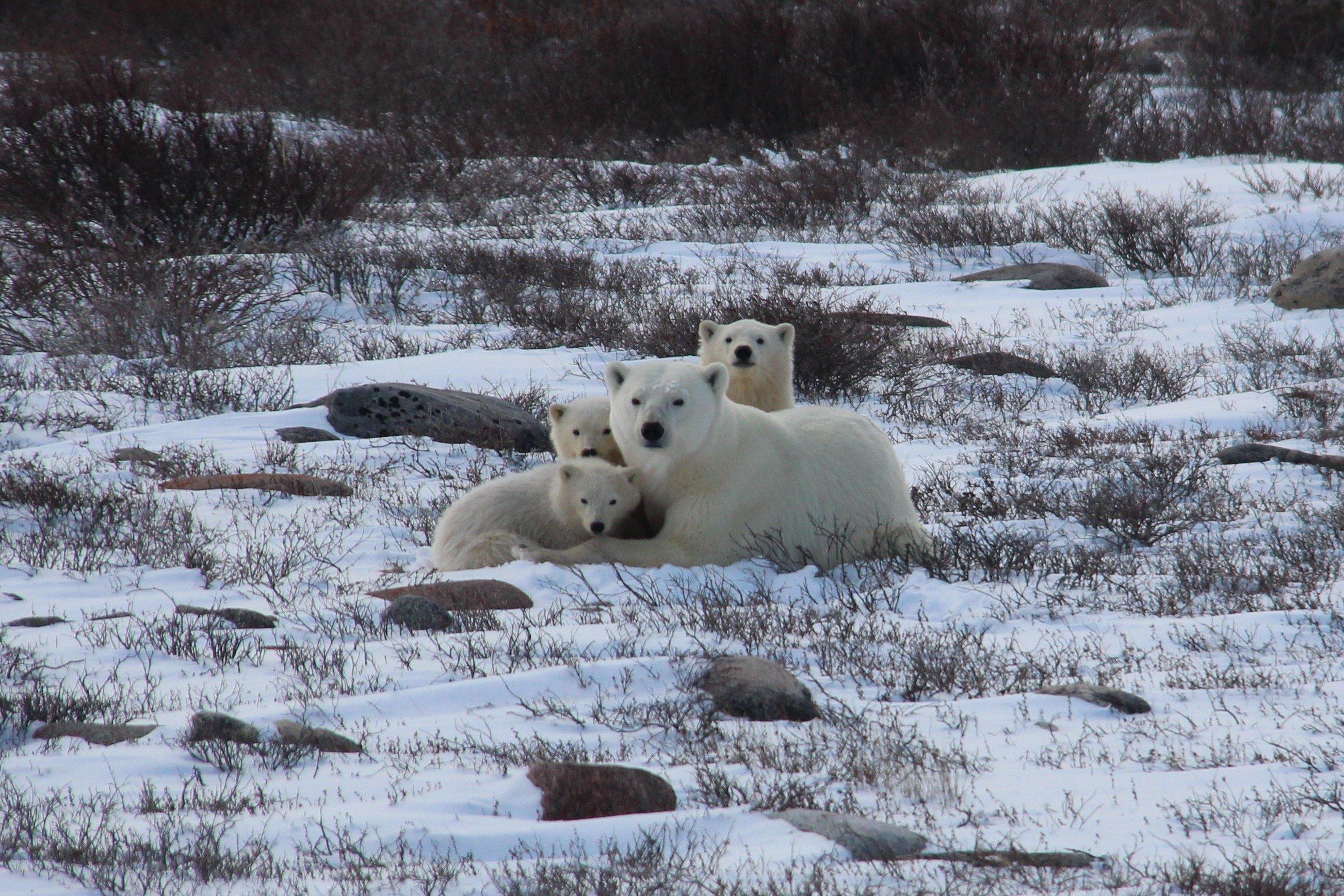 A polar bear mom and triplet cubs.