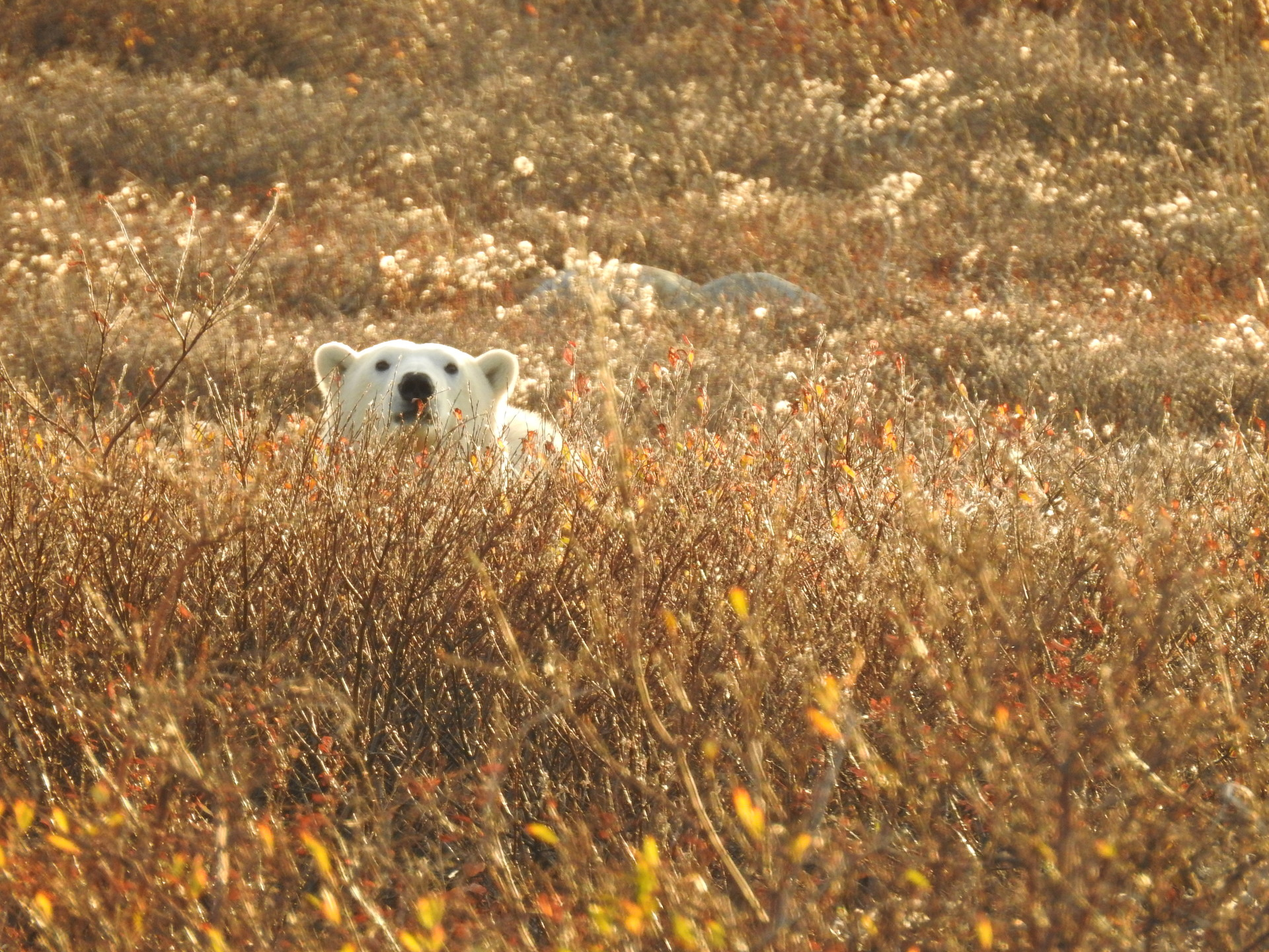 Beautiful fall colours of the tundra with a polar bear poking out its head in Churchill, Manitoba.