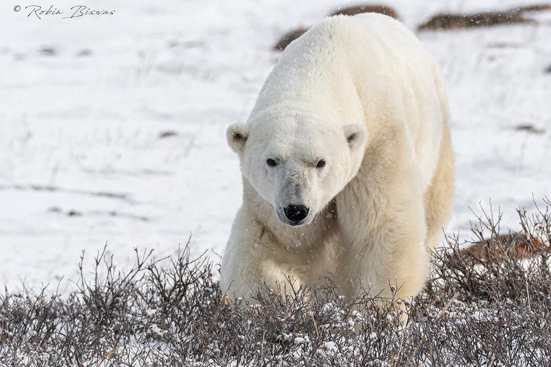 A polar bear roaming the tundra waiting for freeze up in Churchill, Canada