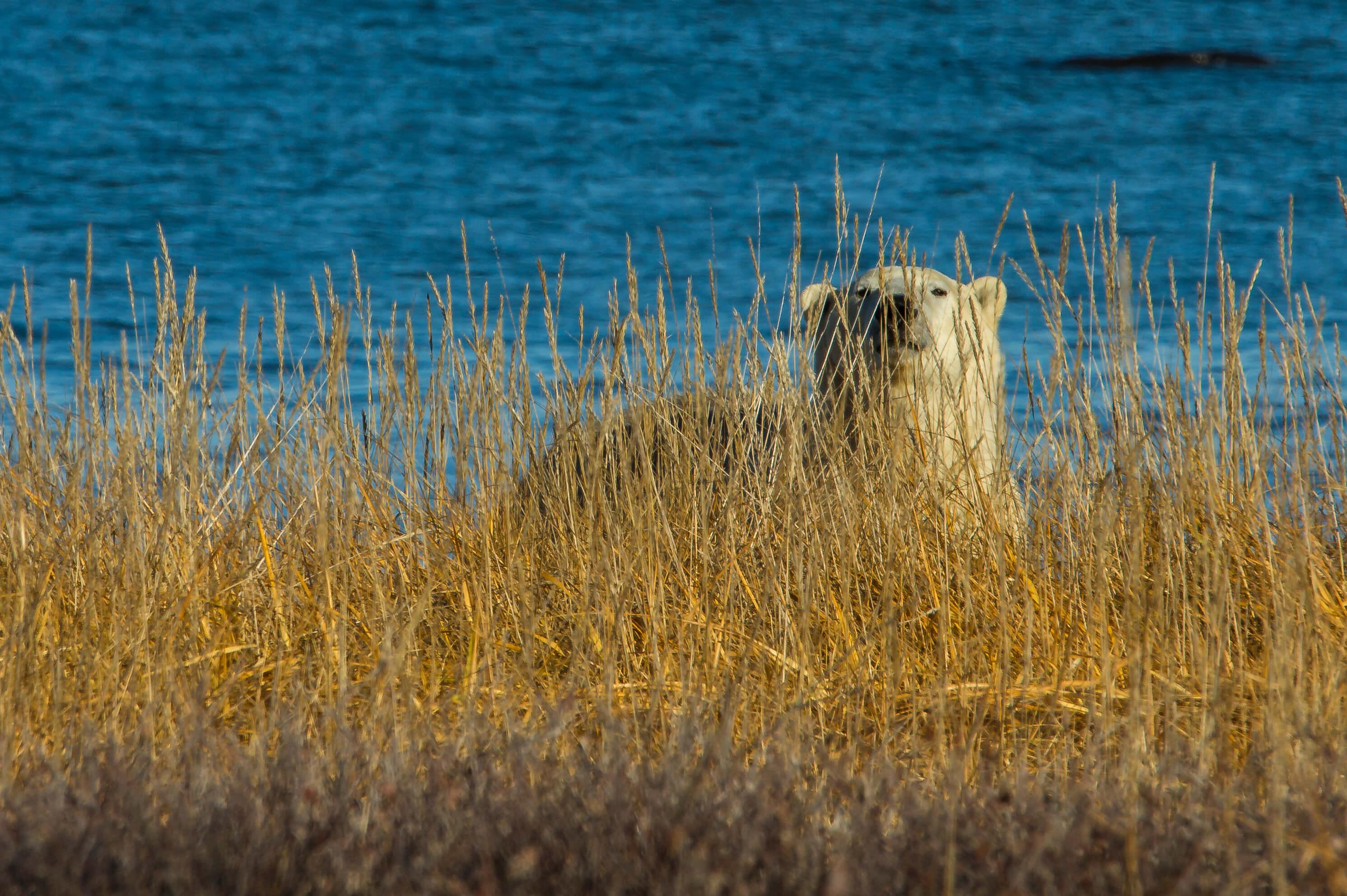 Summer polar bear along the Hudson Bay