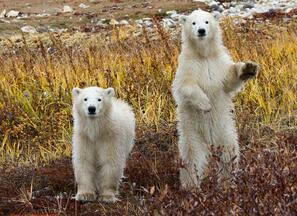 Two polar bear cubs in Churchill, Canada