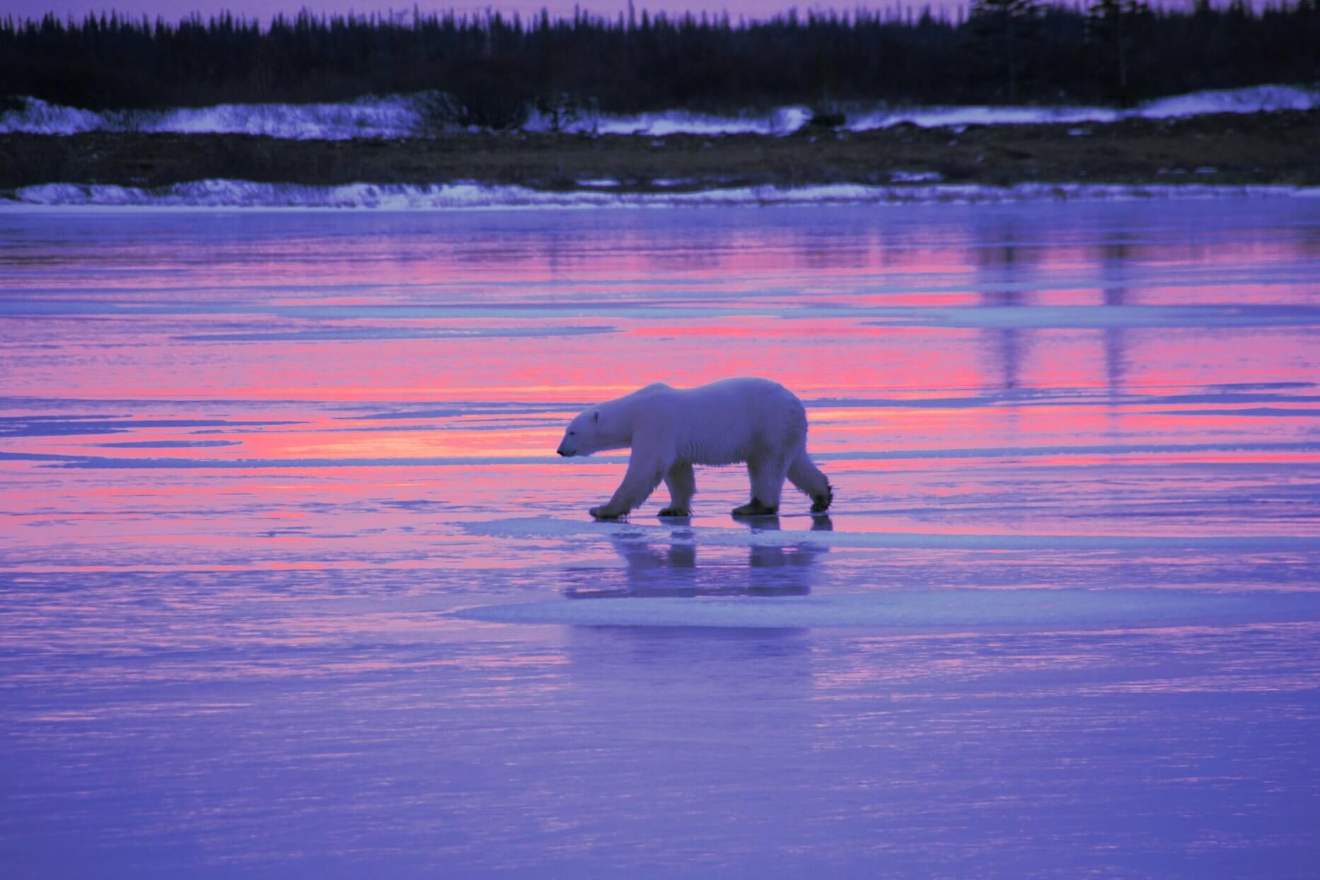 A polar bear walks across the icy tundra in Churchill, Canada