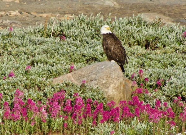 A bald eagle sits on a rock near a patch of fireweed and willows.