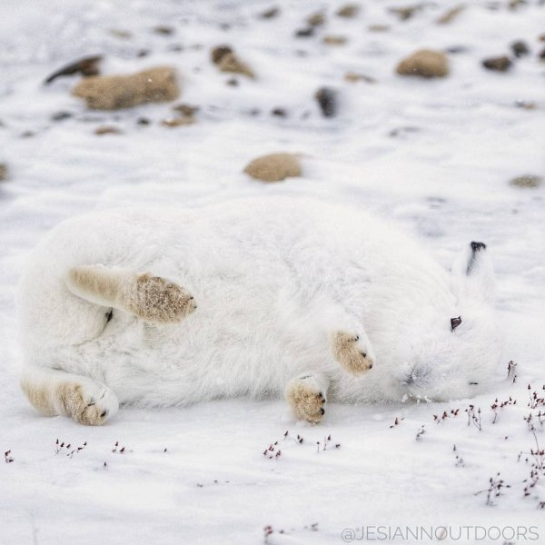 An awfully cute arctic hair rolls around on the snow.