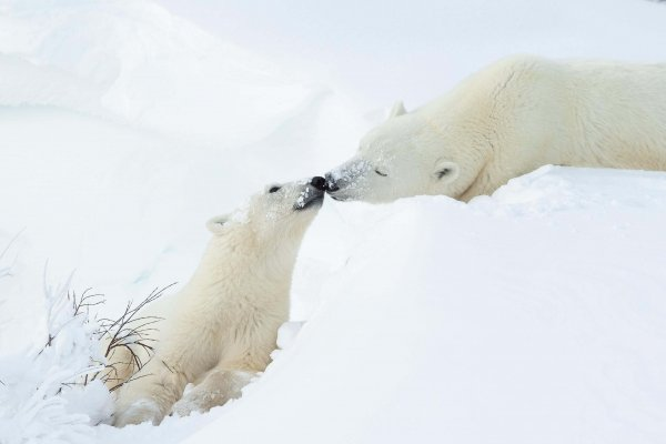 A mom and cub touch noses in the snow.